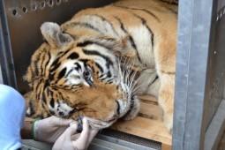 Tigrii din Onesti sedati (4)