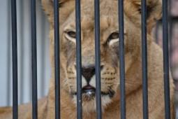 Vier Pfoten a dus felinele in Africa (2)