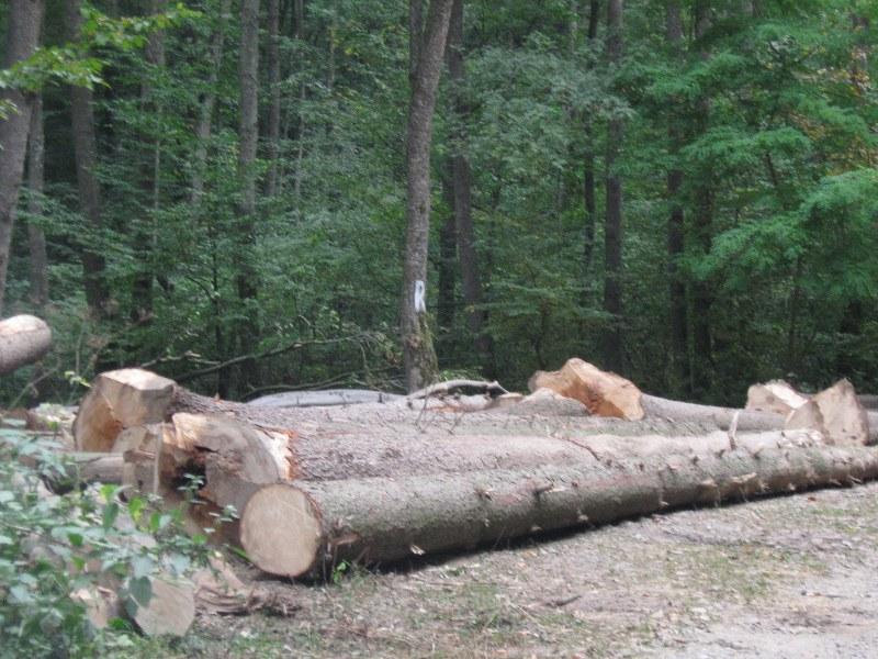 lemn, taieri ilegale (1)