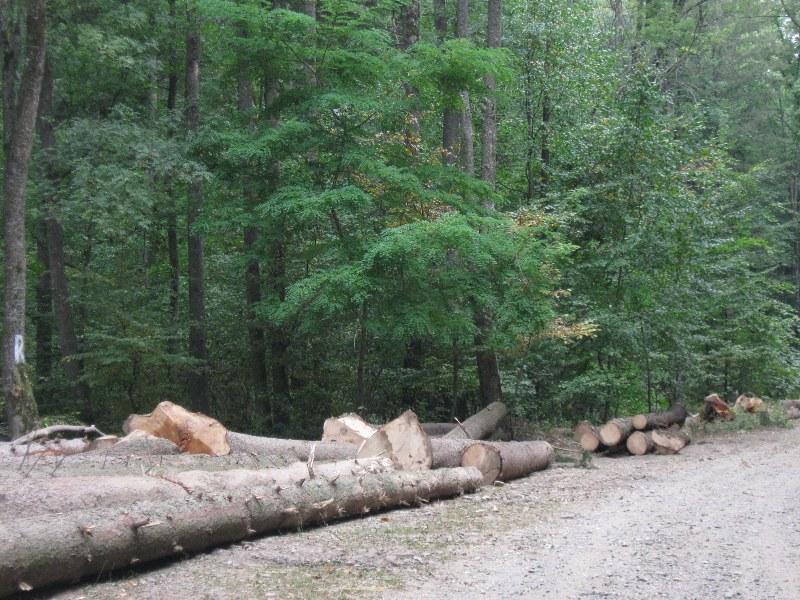lemn, taieri ilegale (2)